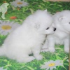 donik-style-kennel-japanese-spitz-p 1