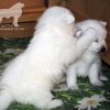 donik-style-kennel-japanese-spitz-p 2