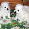donik-style-kennel-japanese-spitz-p 3